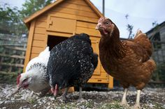Many people keep chickens as pets in their backyards, but there are considerations to keep in mind—for the health of the birds and your landscaping—when outfitting a chicken coop. Here's the science behind what needs to go in your backyard chicken coop