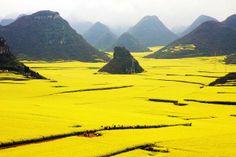 Canola-Flower-Fields,-China