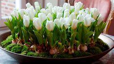 Myslíte si, že je nemožné, aby na okenním parapetu na Nový rok kvetly tulipány, nebo narcisy? Tak to budete překvapeni! Je to možné! Chtěli bychom se s Vámi podělit o skvělý způsob, který zvládnou i začínající zahradníci. Celé tajemství spočívá pouze ve výsadbě cibulek. Uvidíte, že je to mnohem snadnější … Watermelon Rind, Watermelon Recipes, Floral Centerpieces, Flower Arrangements, Centerpiece Ideas, Japanese Wine, Garden Deco, Cool Yoga Poses, Cactus