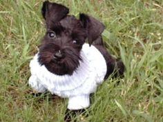 Black Miniature Schnauzer Puppy #schnauzer