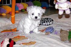 Adorable Paws / B-Wurf Malteser Welpe, 21.01.2015, 9 Wochen alt, Züchter Daniela Krüger