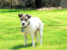 """Rebekah R. from Winston-Salem, NC. and her Jack Russell Terrier named Curious Jorge! When Jorge isn't busy being """"curious"""" he likes to snack on some delicious Rawhide."""