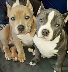 Wow look at these babies!!! Gorgeous.. Not a fan of the ears. Please stop clipping ears!!