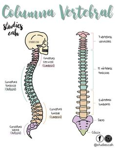 The vertebral column Medicine Notes, Medicine Student, Nursing School Notes, School Study Tips, Medical Anatomy, Human Anatomy And Physiology, Medical Terminology, Med Student, Study Notes