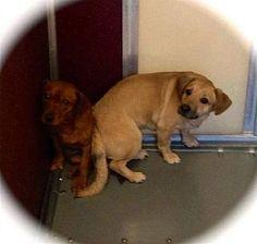 Tappahannock, VA - Corgi Mix. Meet Frick & Frack a Dog for Adoption. Fee $25.00 URGENT!!!