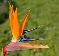 Bird of Paradise South African Flowers, Wedding Flowers, Paradise, Bird, Plants, Birds, Plant, Planets, Bridal Flowers