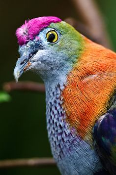 Superb Fruit Dove