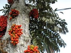 Superberry tree Gabon