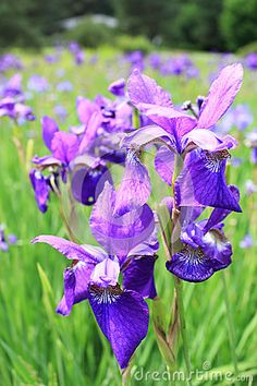 Field of irises in the green grass