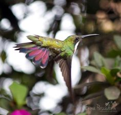 While in flight showing the beautiful colours of its tail!