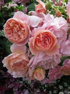'Leander' |  Shrub.  English Rose Collection. Bred by David C. H. Austin (United Kingdom, 1982).