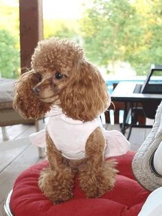 Teacup Poodle Cinnamon Female Dressed   This is  2 year old April, our teacup poodle.  Weight in this picture 4#'s