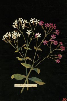 If you're fond of antique botanical images, look up the work of Mary Delany. This 18th century Englishwoman created delicate paper cut out works, beautiful and botanically accurate depictions of plants.
