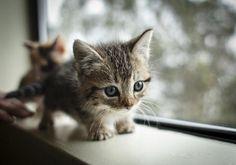 Teenie tiny kitten on the window sill. what is it with cats and window sills? Munchkin Kitten, Tiny Kitten, Baby Cats, Baby Animals, Cute Animals, Baby Kitty, Sleepy Kitty, Cute Kittens, Cats And Kittens