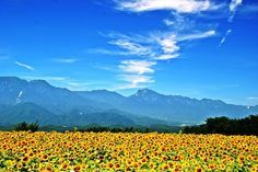 ひまわり畑:山梨県明野