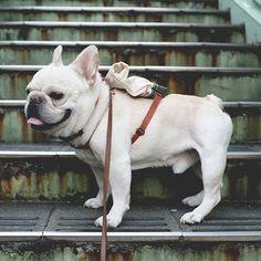 #ブル男 #bullo #フレンチブルドッグ #フレブル #フレンチブル #frenchbulldog #frenchie #instafrenchie #frenchiegram #fab_frenchies #favoritefrenchie #doglover #bully #buhi #tokyo #tokyofrenchiebulldog #tokyofrenchbulldog #法國鬥牛犬 #法鬥 #法国斗牛犬 #鬥牛犬 #法國老虎狗 #เฟรนช์บูลด็อก #บุลุโอะ