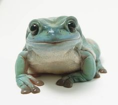 This is easily the cutest tree frog we've ever seen white tree frog Dumpy Tree Frog, Whites Tree Frog, Pet Frogs, Red Eyed Tree Frog, Frog Pictures, Frog Art, Frog And Toad, Reptiles And Amphibians, Oui Oui