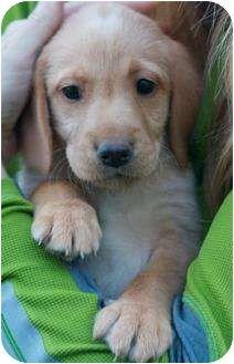 Labrador Retriever Mix--precious