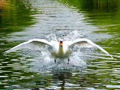 Take off by MatthewEarl #animals #animal #pet #pets #animales #animallovers #photooftheday #amazing #picoftheday
