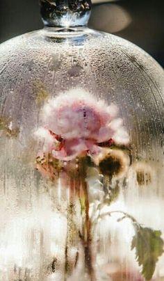Rose through glass