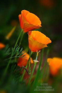 I <3 poppies!
