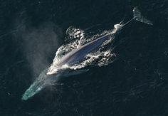 Baleine Bleue, Rorqual Bleu, Océan