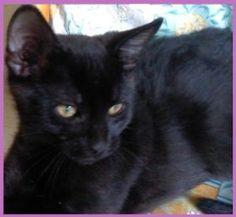 ELVIS Type : Chat domestique poil court Sexe : Mâle Age : Bébé Couleur : Noir Taille : Petit Refuge : La compagnie des chats sans maitre/Ecole du chat de Caen(Calvados) Tél : 0782616089 Description : Tatoué, Vacciné, Propre ELVIS est un chaton calme et réservé.Trés affectueux, il est habitué à la vie en interieur.