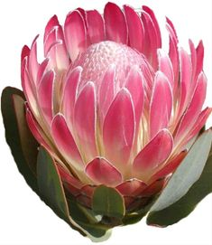 Resendiz Brothers Protea Growers LLC was etablished in 1999 with a passion for growing exotic South African and Australian flowers. Protea Art, Flor Protea, Protea Flower, Botanical Flowers, Exotic Flowers, Botanical Art, Love Flowers, Beautiful Flowers, Australian Native Flowers