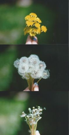 Dandelions are my favorite flower! They are both food and medicine.