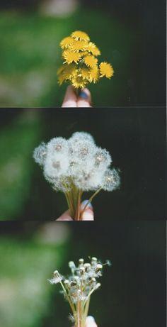 Life cycle of the dandelion Dandelion Nursery, Dandelion Clock, Dandelion Wish, Dandelion Flower, Taraxacum, Foto Art, Memento Mori, Make A Wish, Science Nature