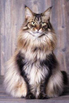 """rokuthecat: """" Are we done yet..? by esthervinju breed,cat,coon,coons,kitten,kittens,kitties,kitty,maine,maine coon,mainecoon,pet,pets,tiger """""""