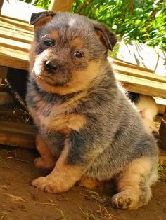 Most Inspiring Australia Chubby Adorable Dog - 2a294ff2cfcecbfb691adcf97926656a--adorable-puppies-beautiful-dogs  Snapshot_103319  .jpg