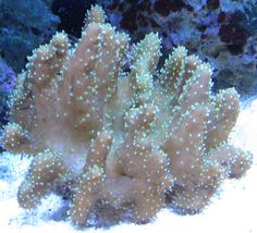 COMMON NAME:    Devils Hand Leather Coral                                                    SCIENTIFIC NAME:       Sarcophyton sp.      SIZE AVAILABLE:      ~ 2 inches        MINIMUM TANK SIZE:     20 gallons      FOOD/DIET:      Microplankton, baby brine shrimp      CARE LEVEL:        Moderately easy      REEF SAFE:      Yes      AVAILABILITY:        Most always available - 99/tablehead/tablerowtablerow/tablerow/tablesoftbreak/sectionsectionsoftbreak/sectionsecti…