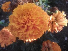 "July 26th Flower: Tagetes erecta (""African Marigold"") Location: Seafront display"
