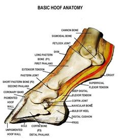 This is a detailed diagram of a horse's hoof. This will help me apply this to my integument presentation.