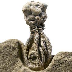 #Crinoid Echinoderm