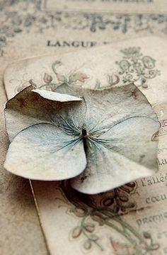 faded hydrangea...