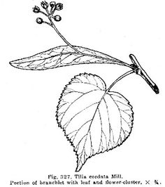 Tilia cordata, LITTLE-LEAF LINDEN