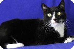 Blackwood, NJ - Domestic Shorthair. Meet Oreo (Cherry Hill Petsmart), a cat for adoption. http://www.adoptapet.com/pet/17312744-blackwood-new-jersey-cat