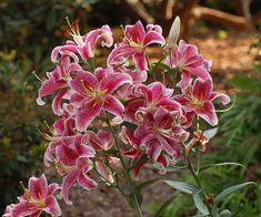 How to Grow instructions for Star Gazer Lillies-incredibly fragrant flowers that belong in every fragrance garden!