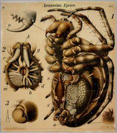 Scientific Illustration | wnycradiolab: Spider anatomy WOW!
