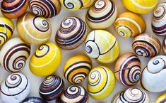 Cuban Tree Snails