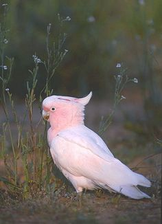 a Major Mitchell (Pink) Cockatoo, Plenty of them up in Northern Victoria's Murray River country around Kahuna...