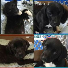 Here are the four 7 week old lab mix puppies with their names! All four are girls and will be ready to go home in 10-14 days. Get your application in today to adopt one at rescuedogsrocknyc.org #rescuedogsrocknyc #nyc #adoptdontshop #cute #lacyandpaws #dog #newyorkcity #puppy #newyork #manhattan #spreadtherumer #puppies #ny #barkbox #adopt #rescue #brooklyn #queens #bronx #longisland #dogsofnyc #rdrnyc #houndsbazaar #nycdogs #fosterdogsnyc #statenisland #dontshopadopt by rescuedogsrocknyc