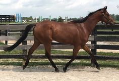 Paschar is a handsome 8 year old, 16.1hh Thoroughbred retired racehorse gelding ready for adoption through Second Stride Inc.  Paschar has an old left front fetlock chip that doesn't bother him, but frequent high jumping leaves his lower back tight. Paschar is a lovely mover, enjoys jumping and is well mannered. He is brave on trails and hacks out with or without buddies!