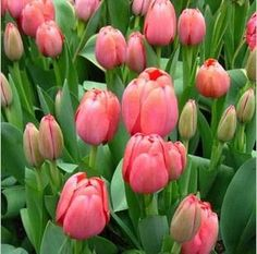 100pcs HOT Rainbow Tulip Seeds Rare Flowers Seeds Perennial Bonsai Plant Gift For Home Garden Courtyard Beautify FREE SHIPPING