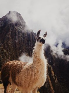 alpaca images, image search, & inspiration to browse every day. Alpacas, Funny Llama, Cute Llama, Animals And Pets, Baby Animals, Cute Animals, Beautiful Creatures, Animals Beautiful, Llama Alpaca