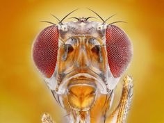 Close-up of a Drosophila Melanogaster. [Tomas Rak/Solent News/Rex]