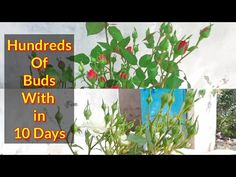 Rose Cuttings, Planting Roses, Plant Care, Bud, Planters, Gardening, How To Get, Flowers, Youtube