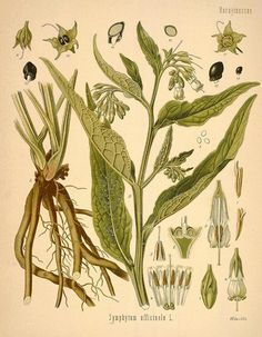 Comfrey plant, a most valued healing plant. Merely placing a leaf of this plant on a sprain or bruise causes faster healing.